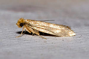 Clothes Moth - Betts Pest Control - Fabric Pest Control