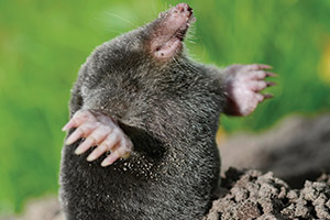 Mole - Wildlife Pest Control - Betts Pest Control