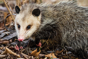 opossum - Wildlife Pest Control - Betts Pest Control