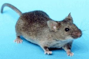 House Mouse - Betts Pest Control - Rodent Pest Control