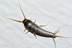 Silverfish - Betts Pest Control - Silverfish Pest Control