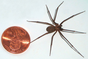 Brown Recluse Spider - Betts Pest Control - Spiders Pest Control