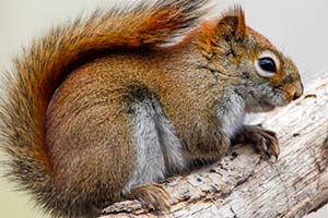 Squirrel Pest Control Wichita