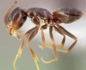 Odorous House Ant - Betts Pest Control - Ants Pest Control