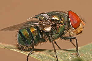 Blow Fly - Betts Pest Control - Flies Pest Control