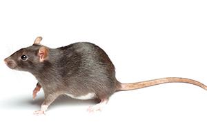 Norway Rat - Betts Pest Control - Rodent Pest Control