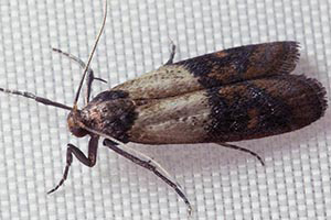 Indian Meal Moth - Betts Pest Control - Pantry Pest Control