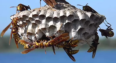 paper wasp nest - Betts Pest Control - stinging insects pest control