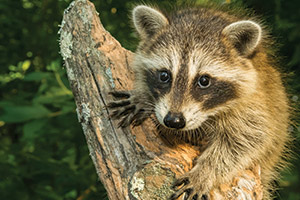 Raccoon on tree stump