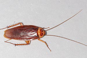 American Roach - Betts Pest Control - Cockroaches Pest Control