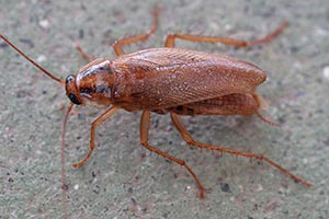 German Roach - Betts Pest Control - Cockroaches Pest Control