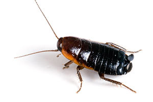 Oriental Roach - Betts Pest Control - Cockroaches Pest Control