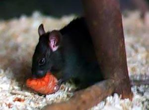 Roof Rat - Betts Pest Control - Rodent Pest Control