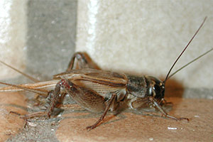House Cricket - Betts Pest Control - Seasonal Pest Control