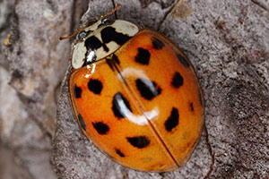 Multi-Colored Asian Lady Beetle - Betts Pest Control - Seasonal Pest Control