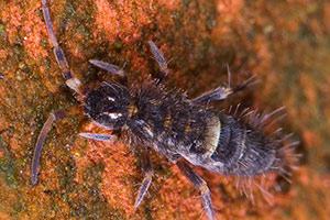 Springtail - Betts Pest Control - Seasonal Pest Control