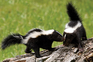 Two Skunks on tree log