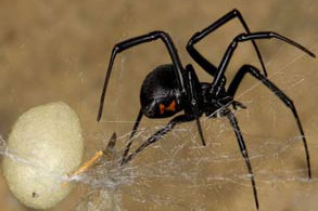Black Widow Spider - Betts Pest Control - Spiders Pest Control
