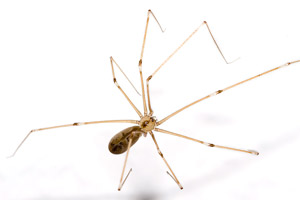 Cellar Spider - Betts Pest Control - Spiders Pest Control