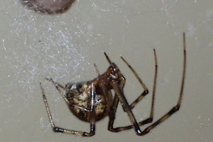 Common House Spider - Betts Pest Control - Spiders Pest Control