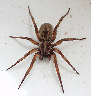 Wolf Spider - Betts Pest Control - Spiders Pest Control