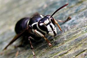 Bald Faced Hornet on tree