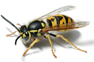 Yellow Jacket - Betts Pest Control - stinging insects pest control