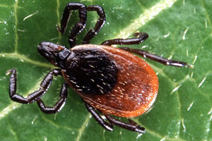 Black Legged Ticks - Betts Pest Control - Ticks Pest Control